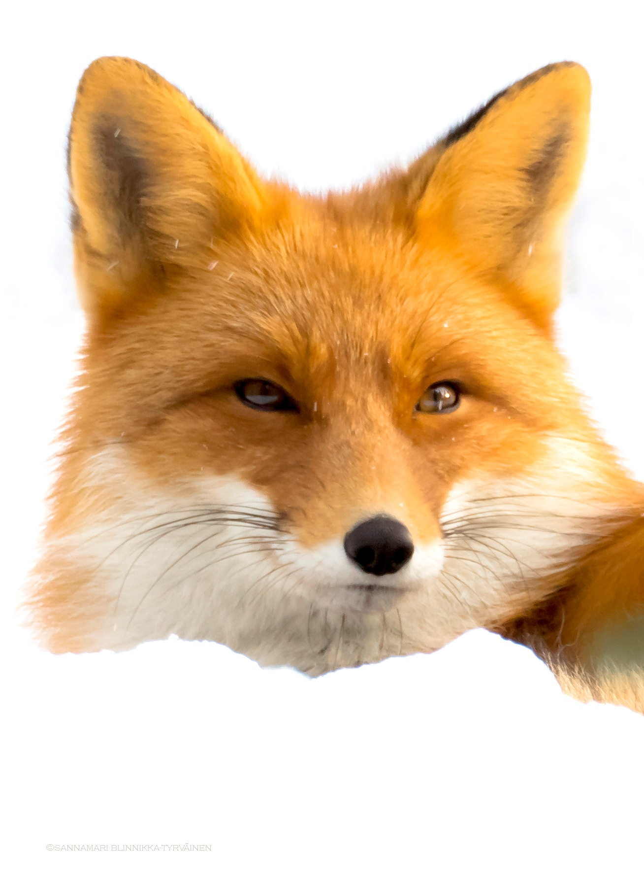 Red fox in the snow by Sannamari Blinnikka-Tyrväinen