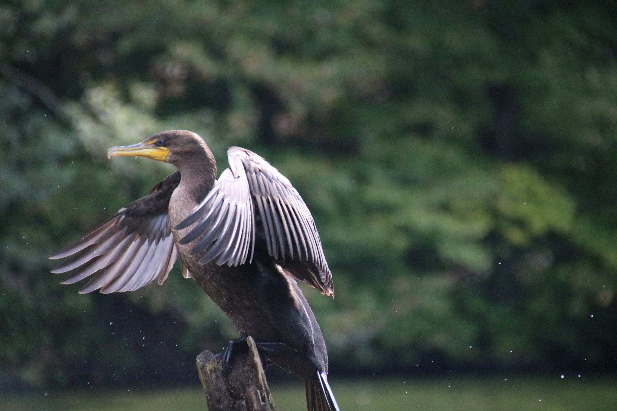 Double Crested Cormorant by Chris Rolek