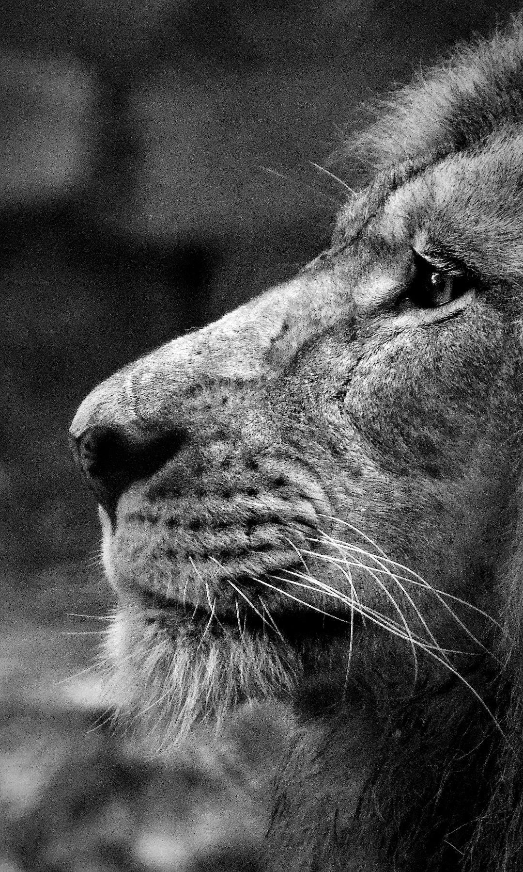 Lion King by Abhishek Gurudutt