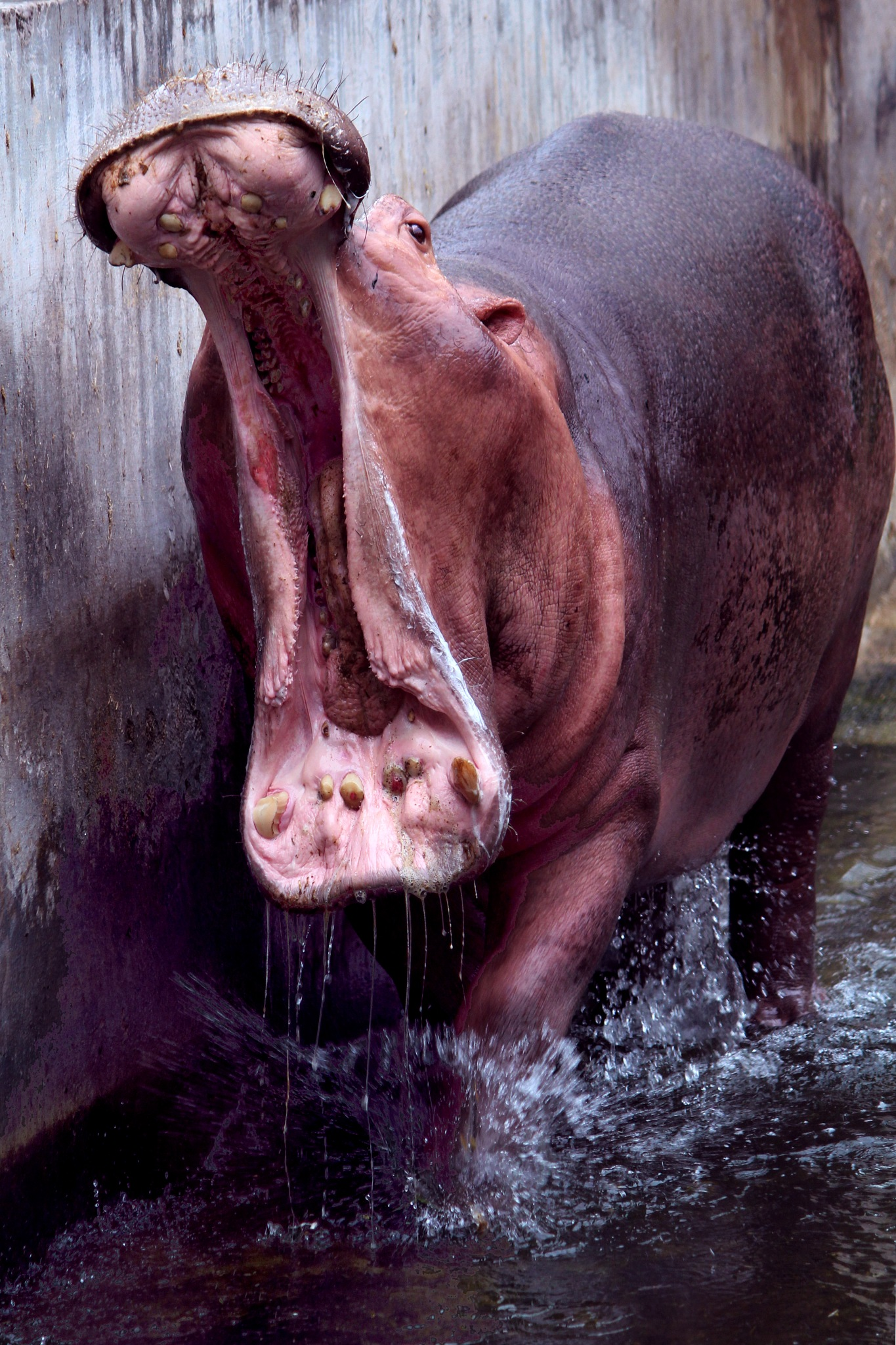 Hippy Hippo by Prateek Khatri