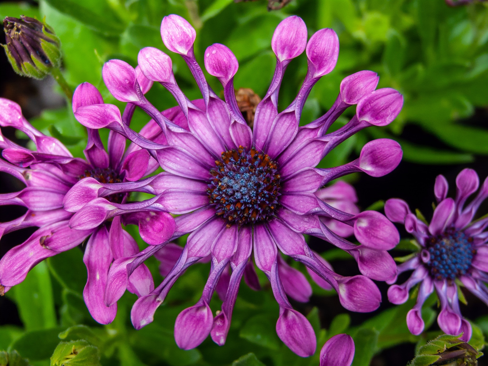 African Daisy, beautiful because it's different by Hercules Smith