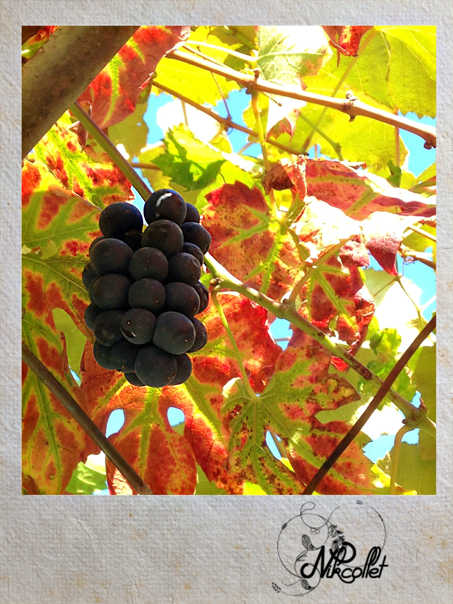 Grapes  by Nikcollet C