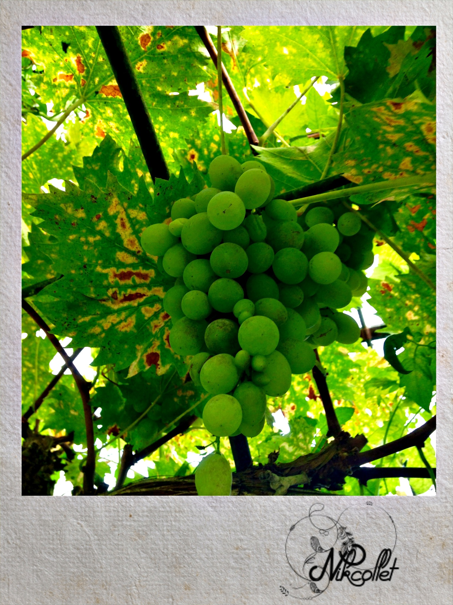 Green grapes by Nikcollet C