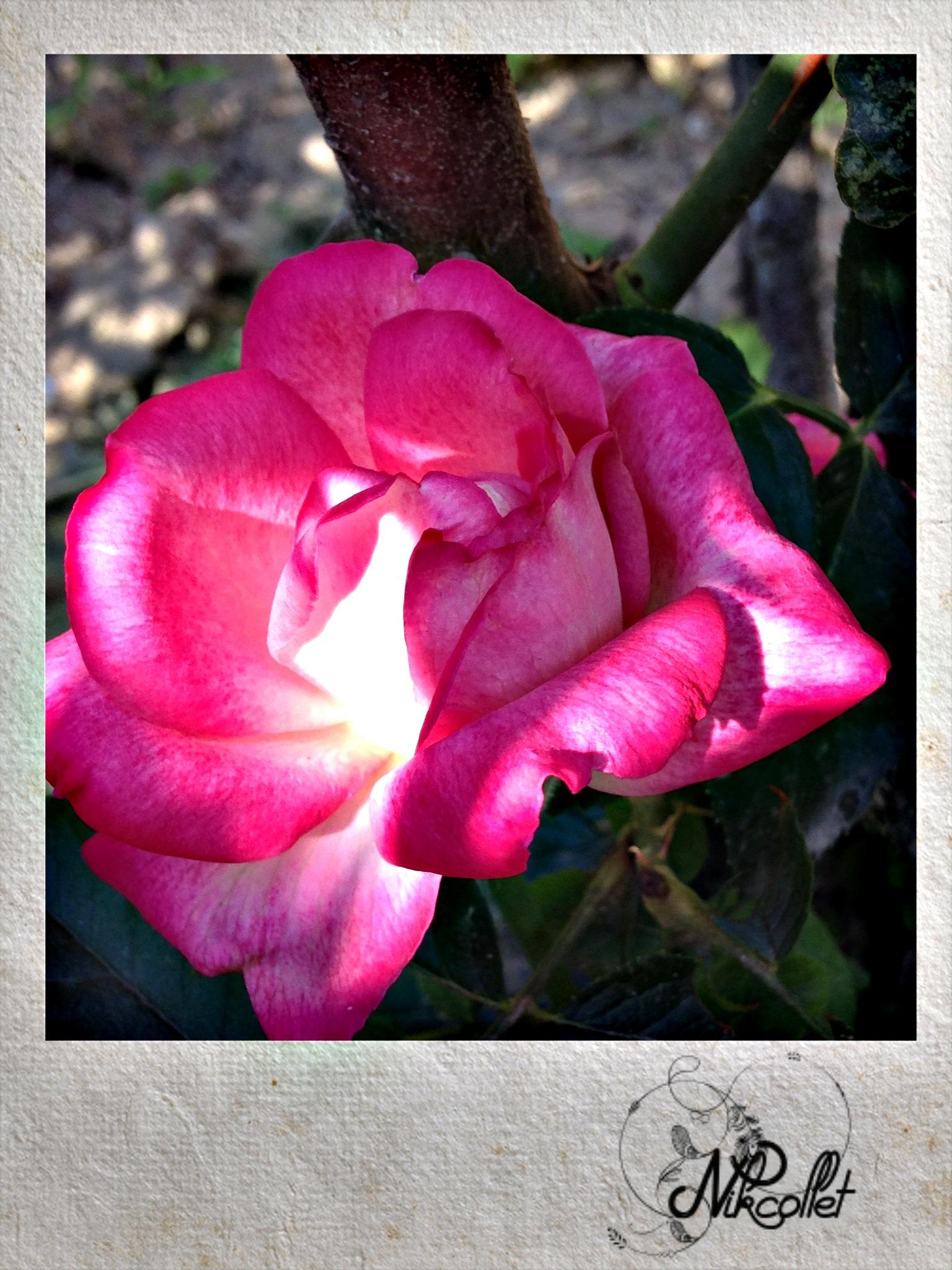 Pink Rose by Nikcollet C