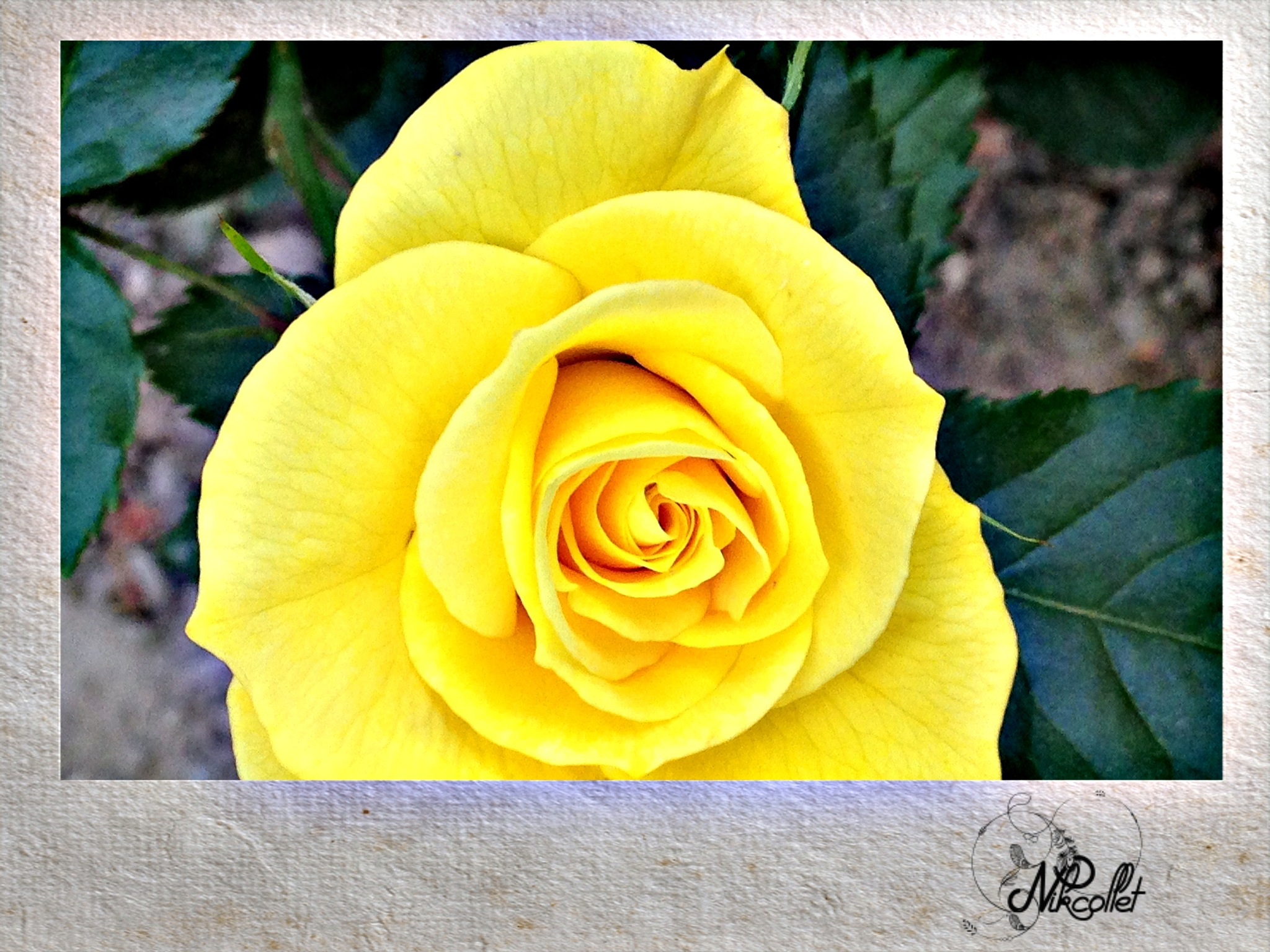 Yellow Rose by Nikcollet C