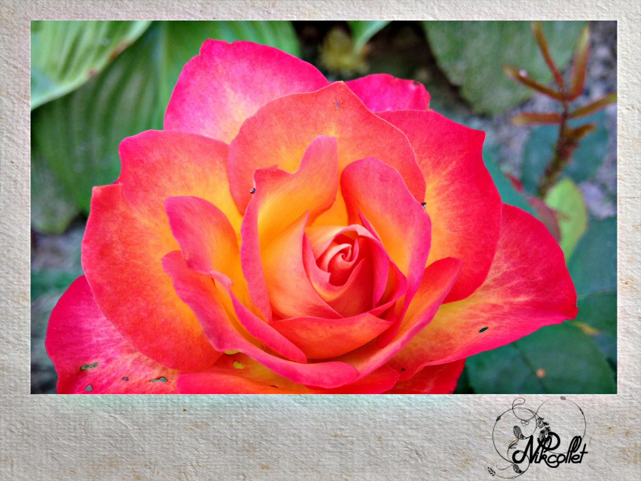 Beautiful Rose by Nikcollet C