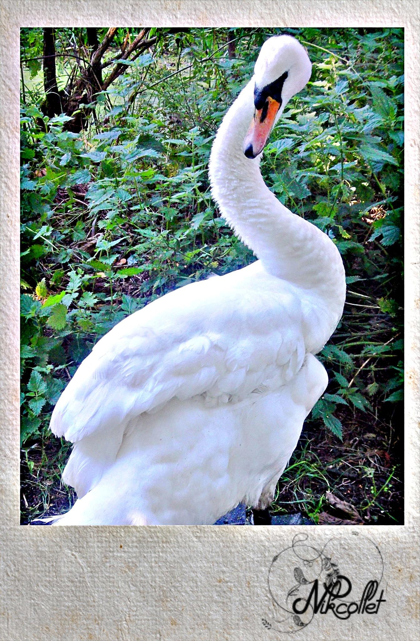 Swan by Nikcollet C
