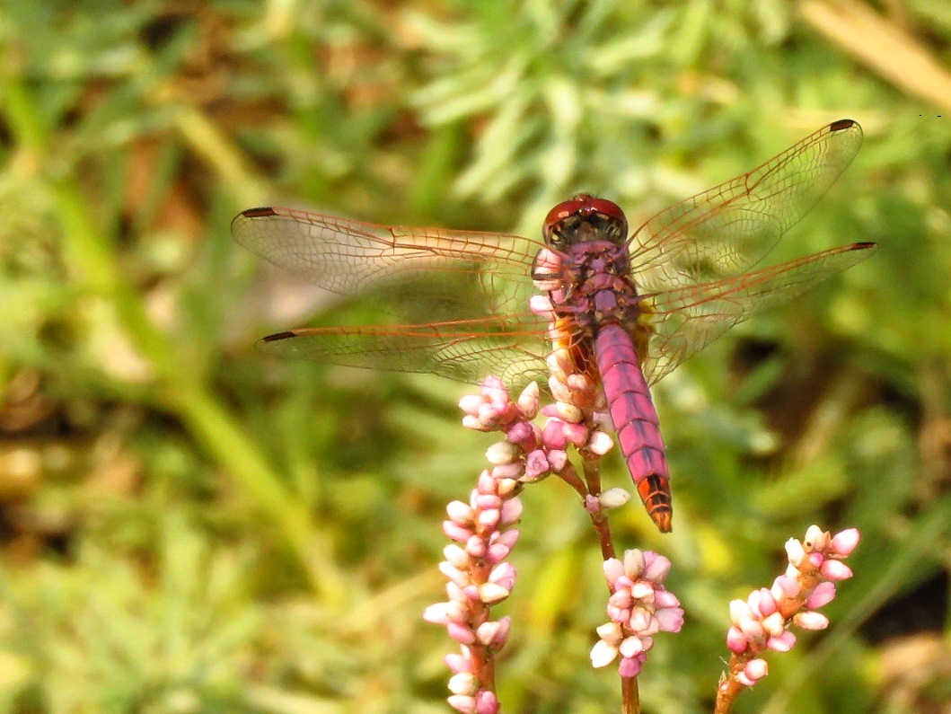 Violet Dropwing (Trithemis annulata) by Andries deVries