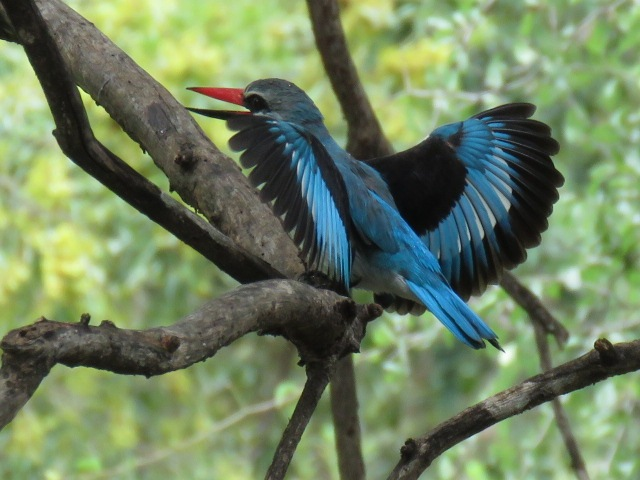 Woodland Kingfisher (Halcyon senegalensis) by Andries deVries