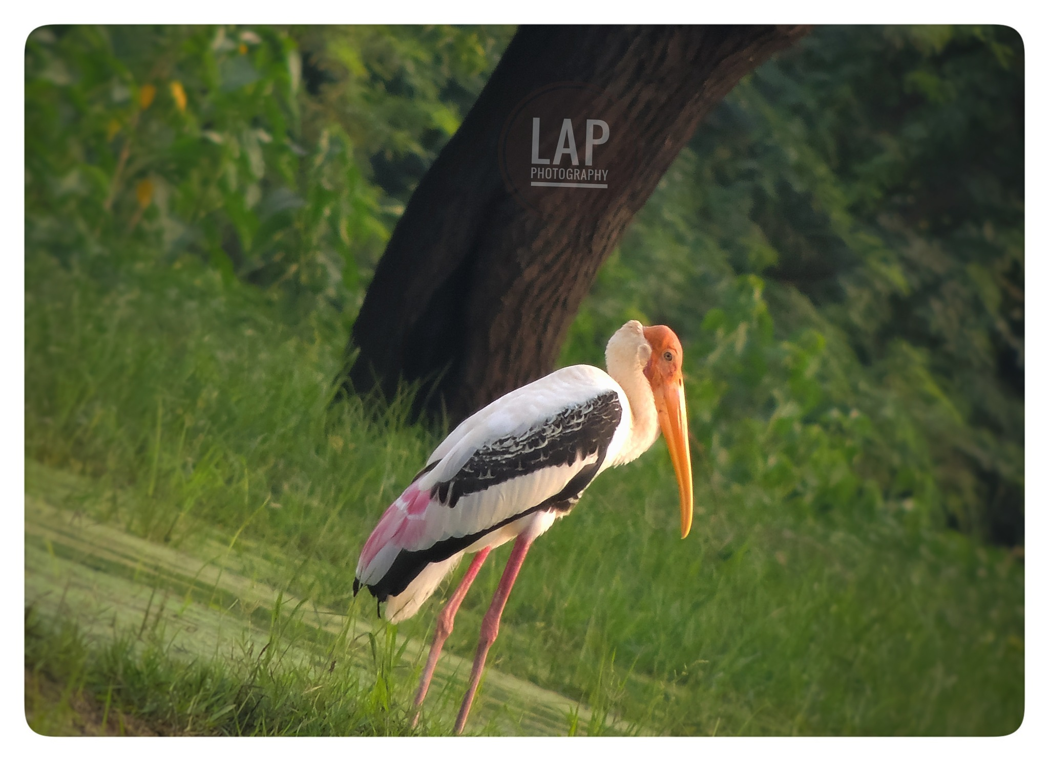 Painted stork by Vijay Rj