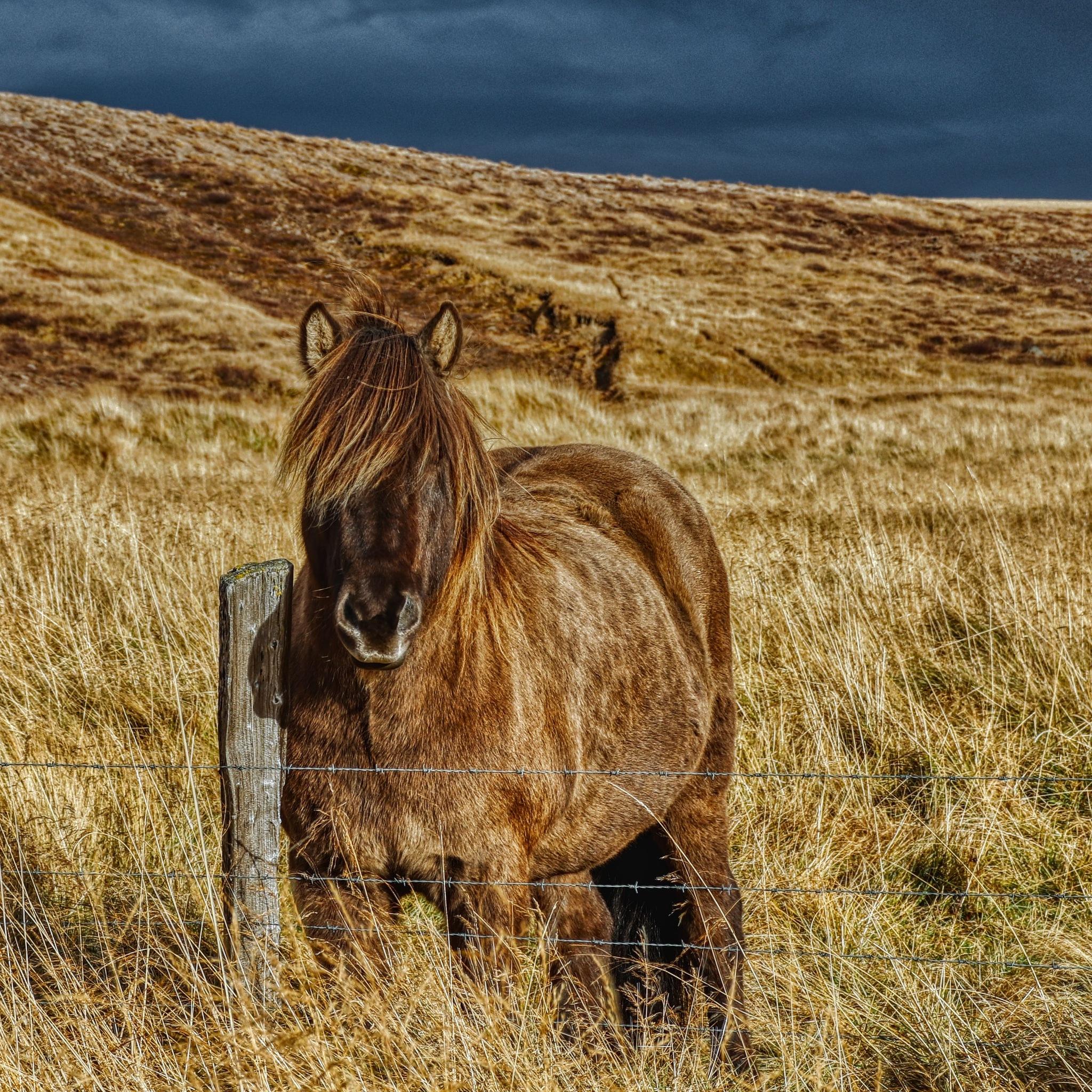 Icelandic horse by Růžena Bendová