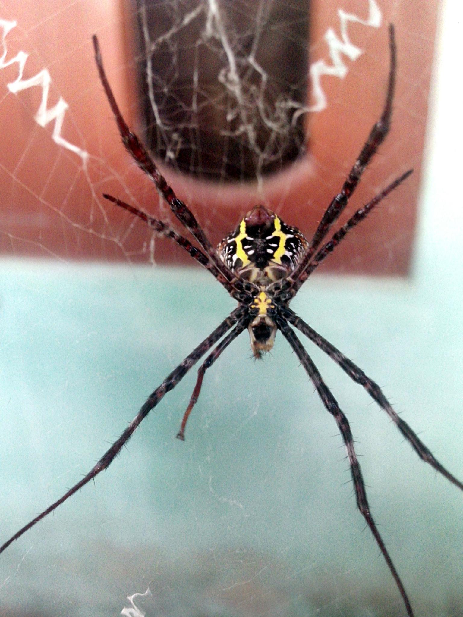 spider by ansuma brahma