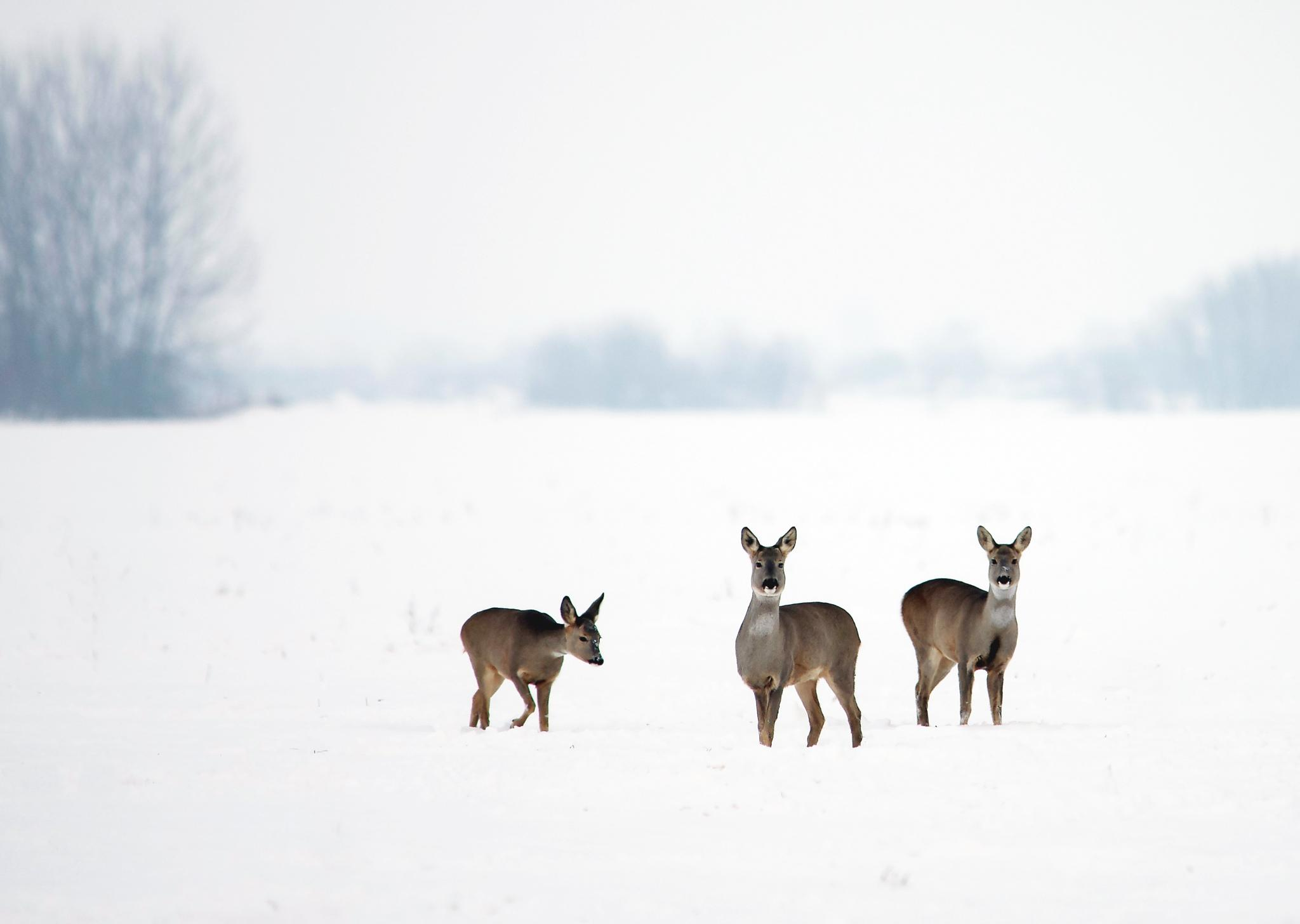 Roe deer by Zoran Rudec