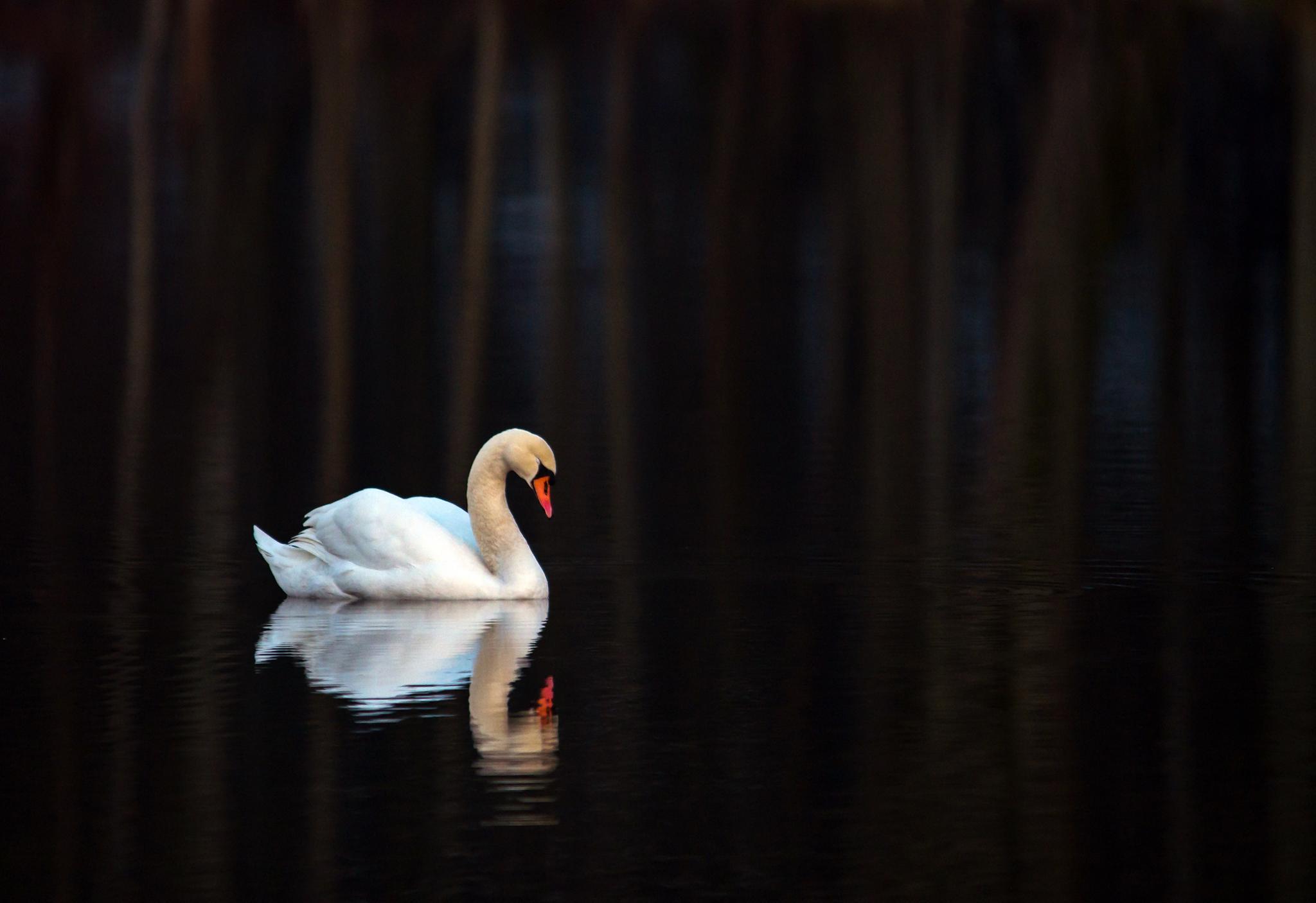 Dreaming swan by Zoran Rudec