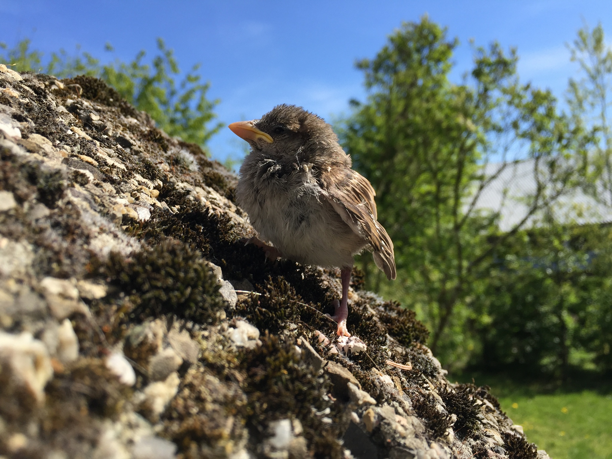 Little sparrow by  Emilia Zaręba