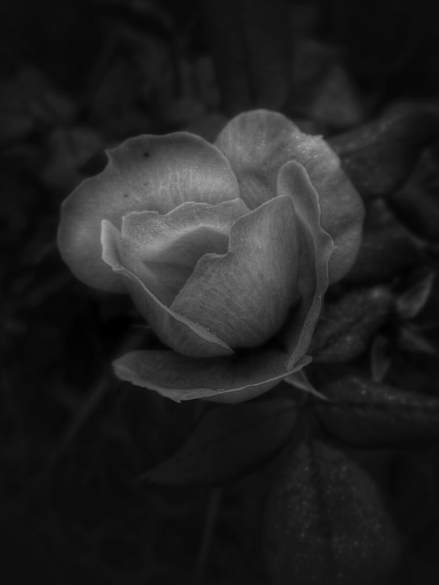 A rose by Jake Metcalf