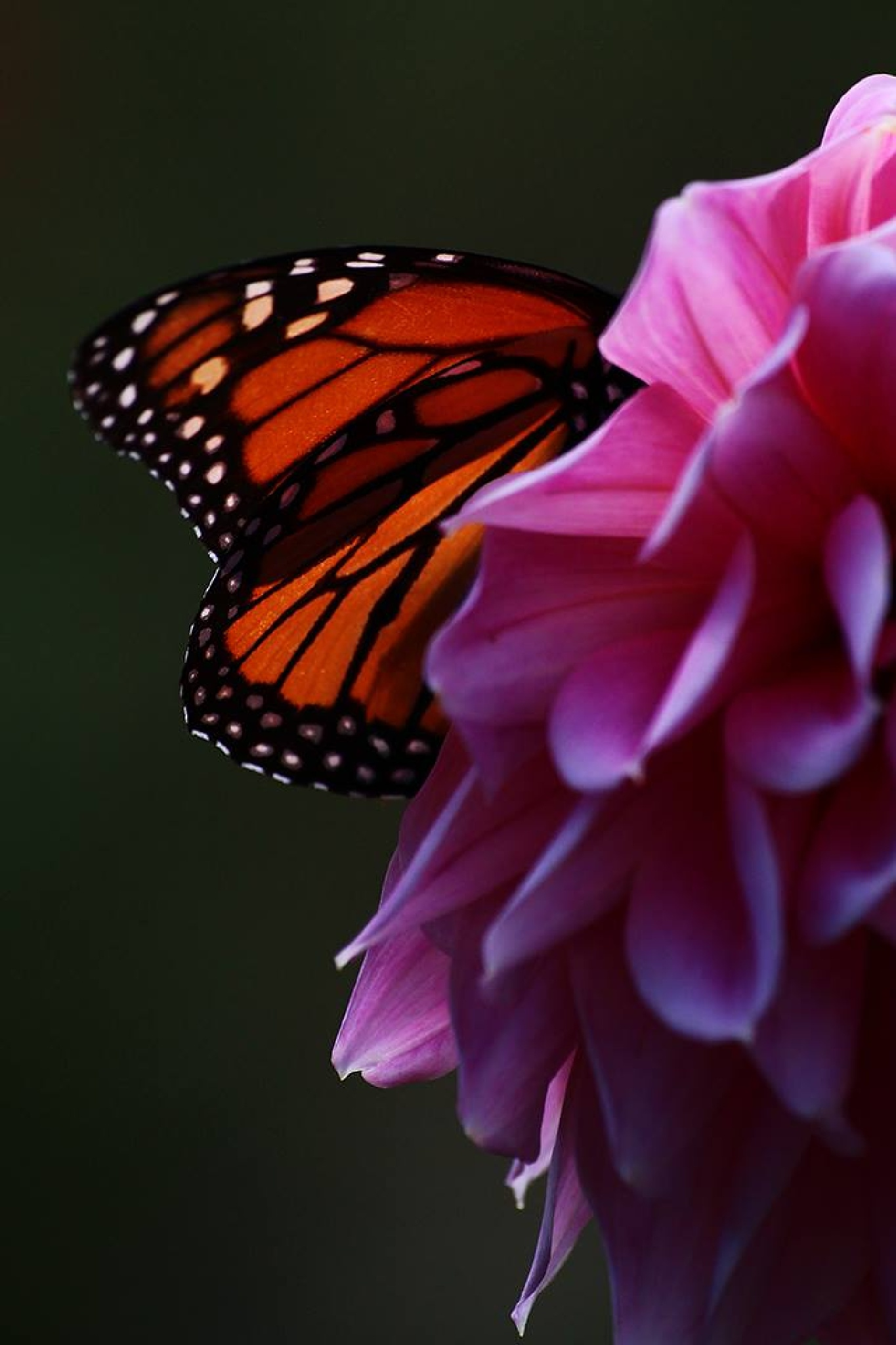 Butterfly and dahlia 3 by Jake Metcalf