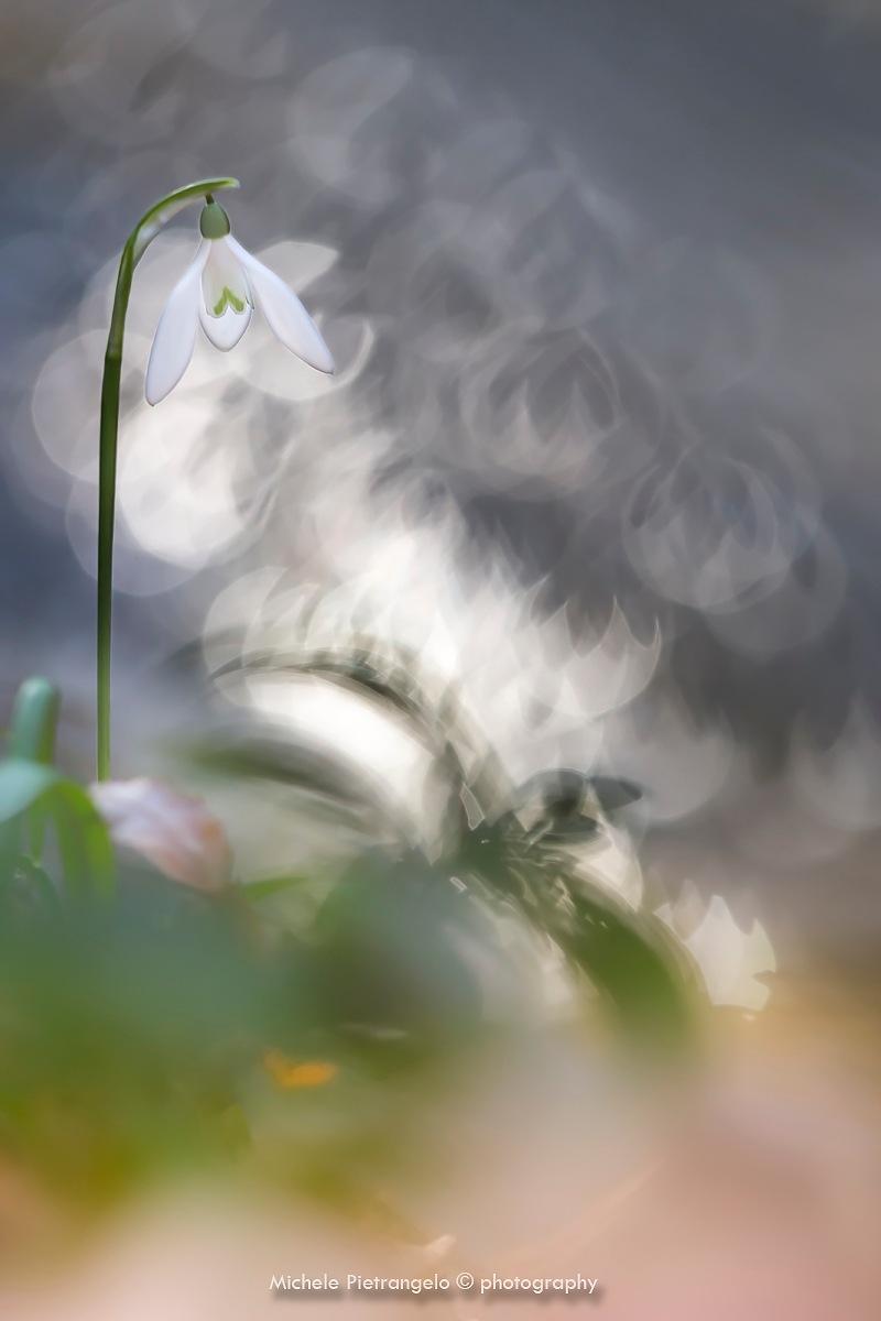 Bucaneve / Snowdrops by Michele Pietrangelo