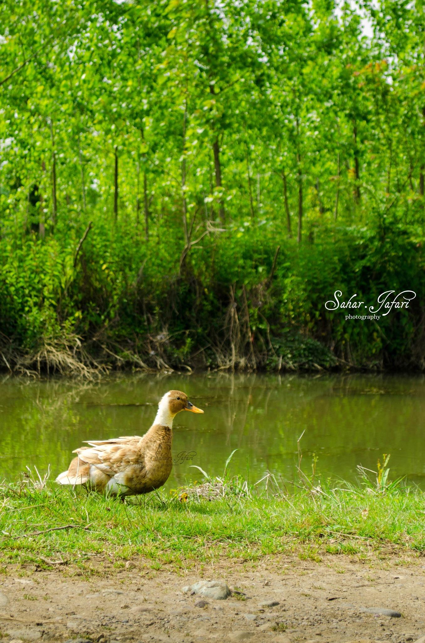 Duck by Sahar.Jafari