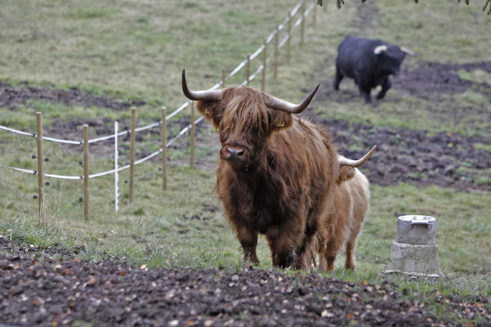 Highland cattle by Harri Hedman
