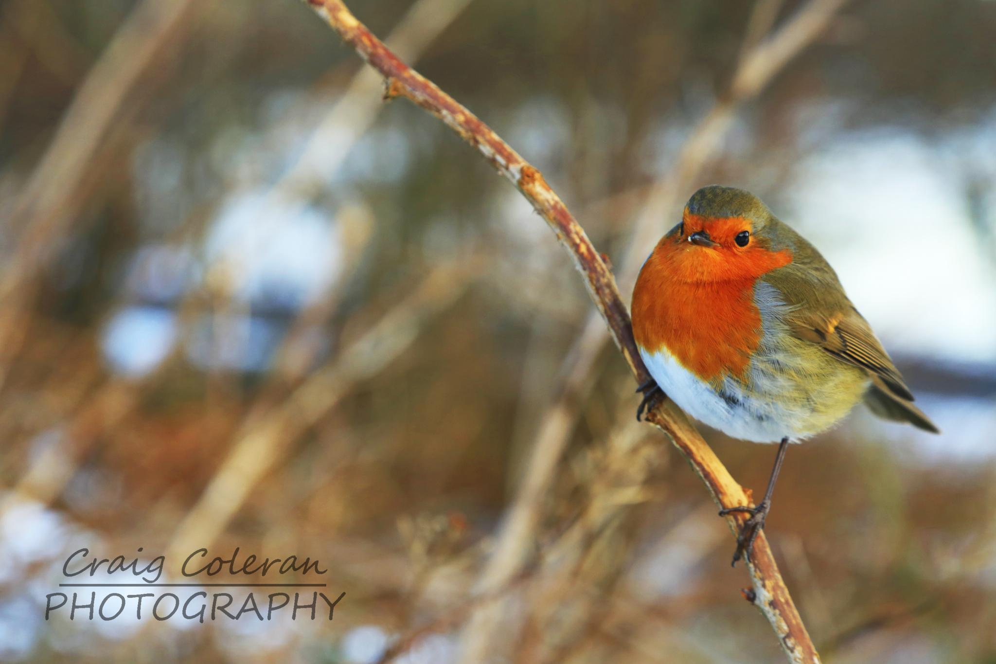 Curious Robin by Craig Coleran