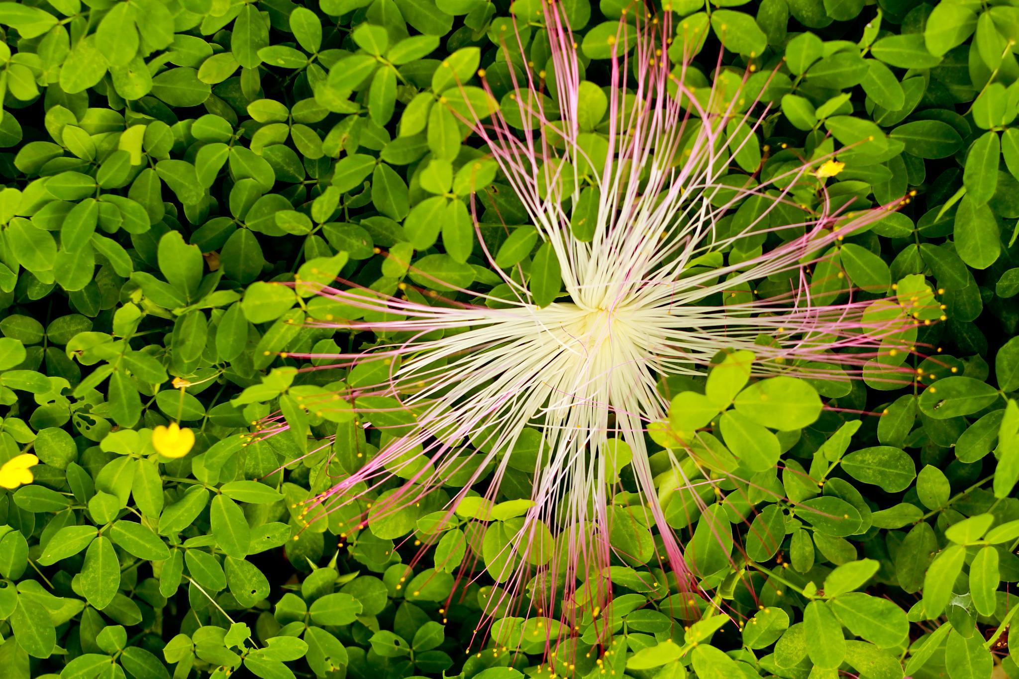 Flower by Yuri Lapidario