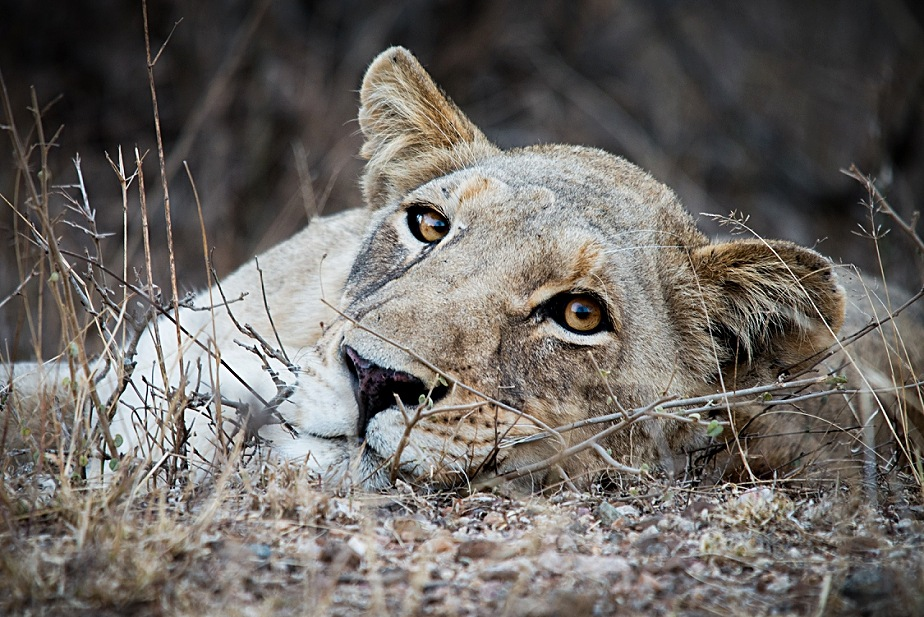 Lioness by Landie Fourie