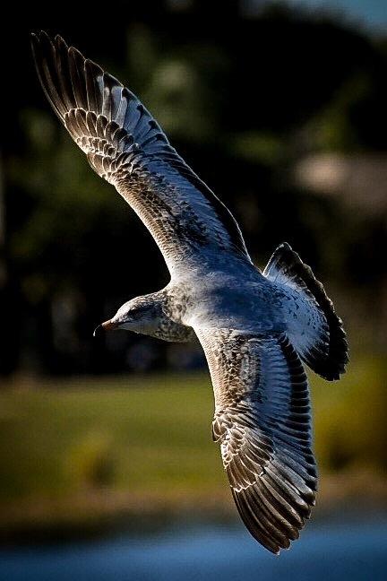 Seagull by Deanna Dahl Wefel