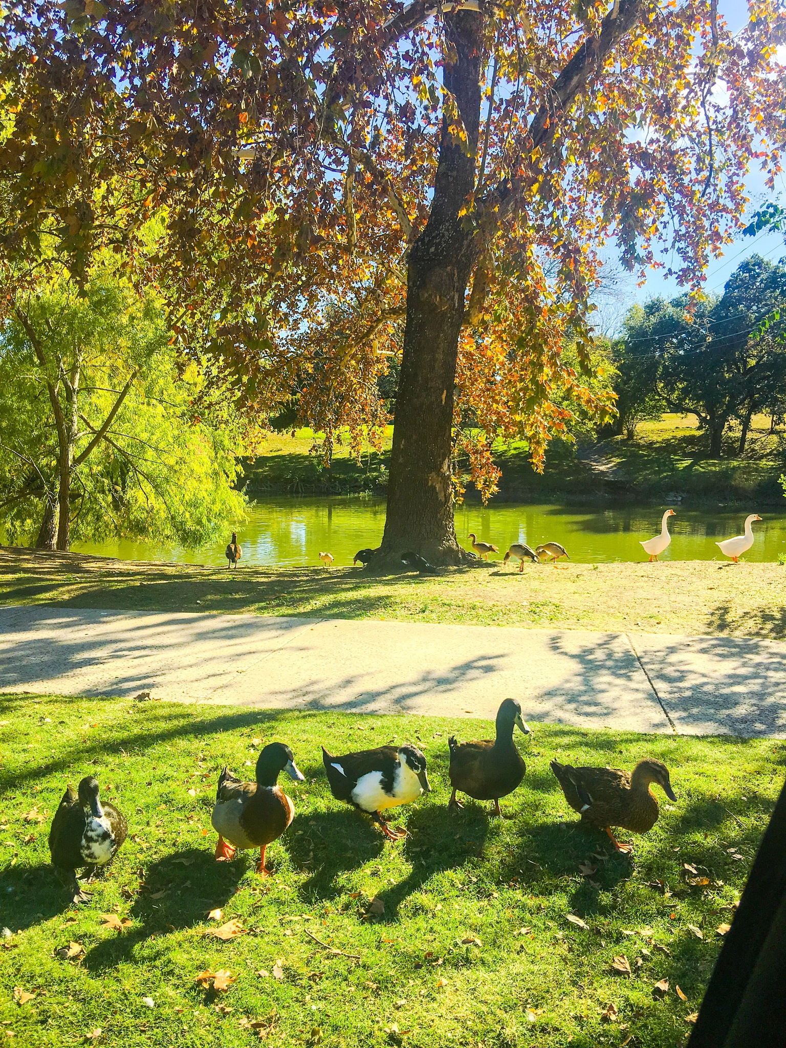 Ducks at the River by Deanna Dahl Wefel