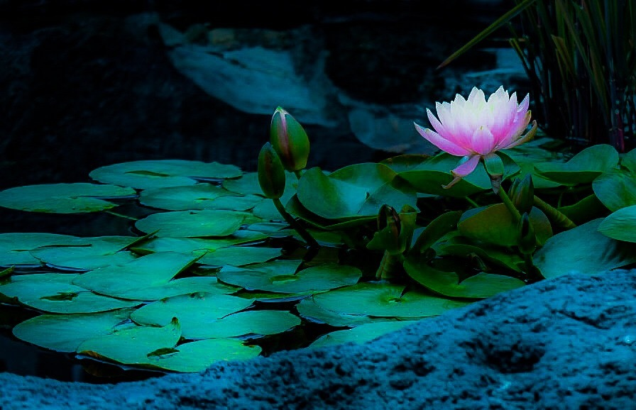 Be Like the Lotus by Deanna Dahl Wefel