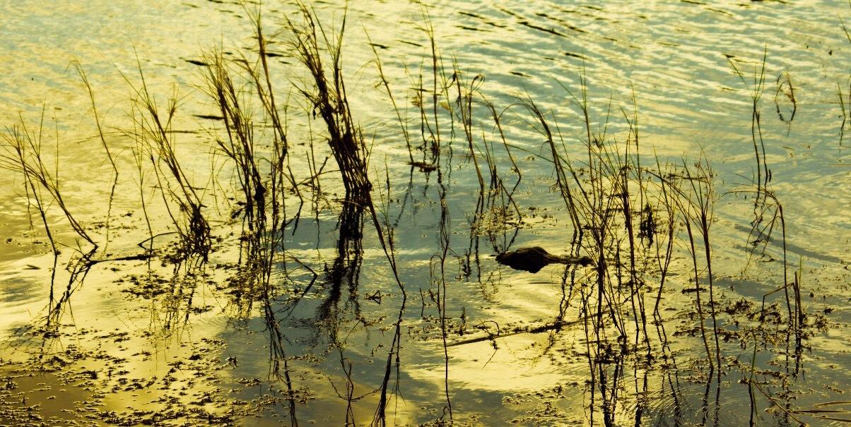 Lake Alligator by Deanna Dahl Wefel