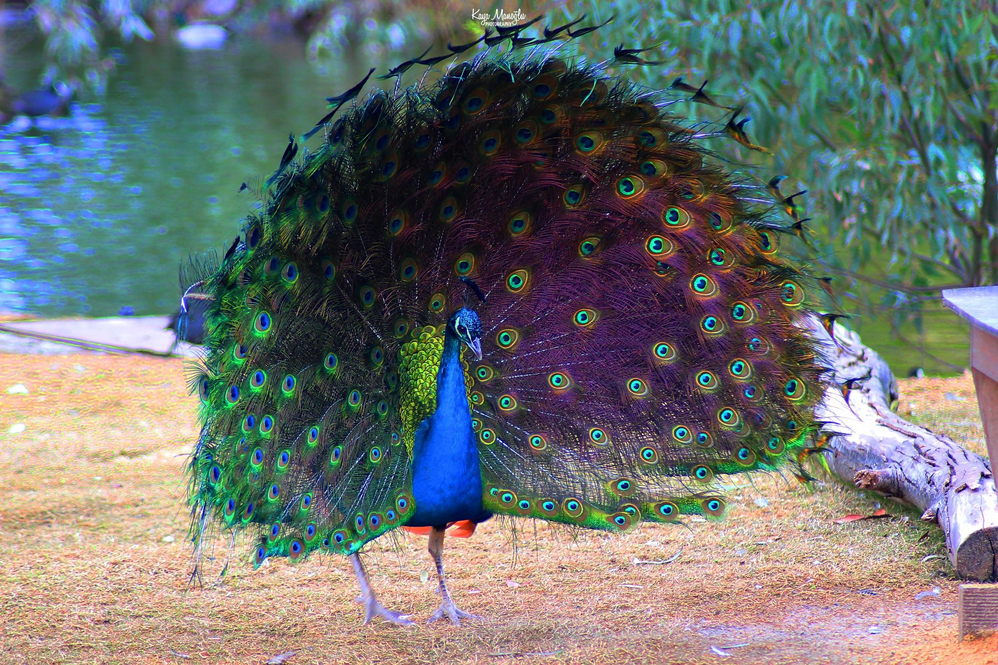 The Peacock by Kaya Manoglu