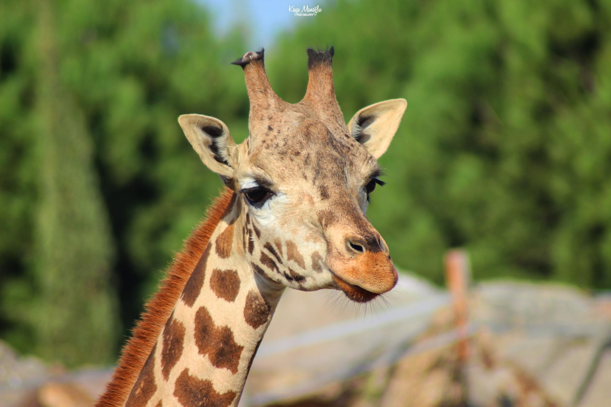 The Giraffe by Kaya Manoglu