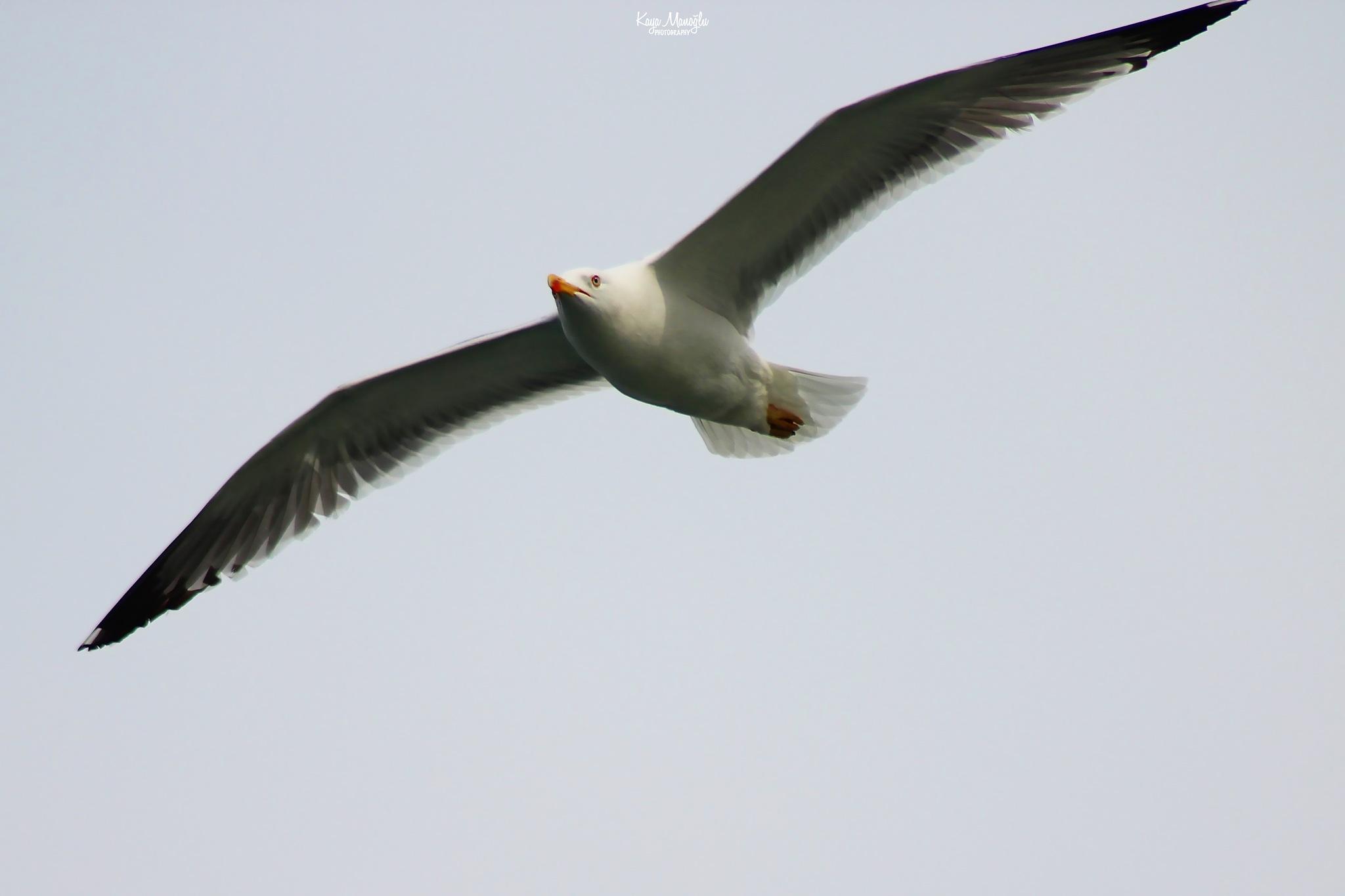The Seagull by Kaya Manoglu