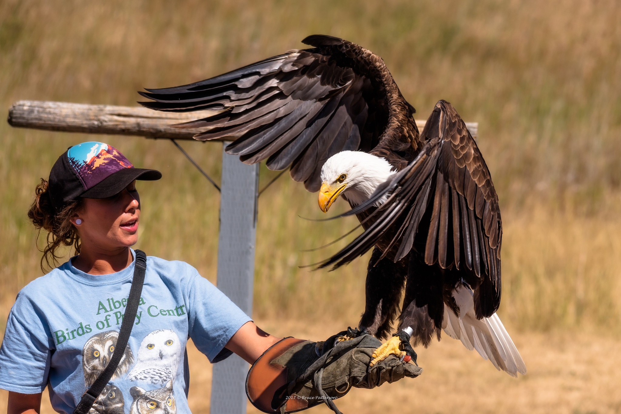 Bald Eagle Landing by Bruce Patterson