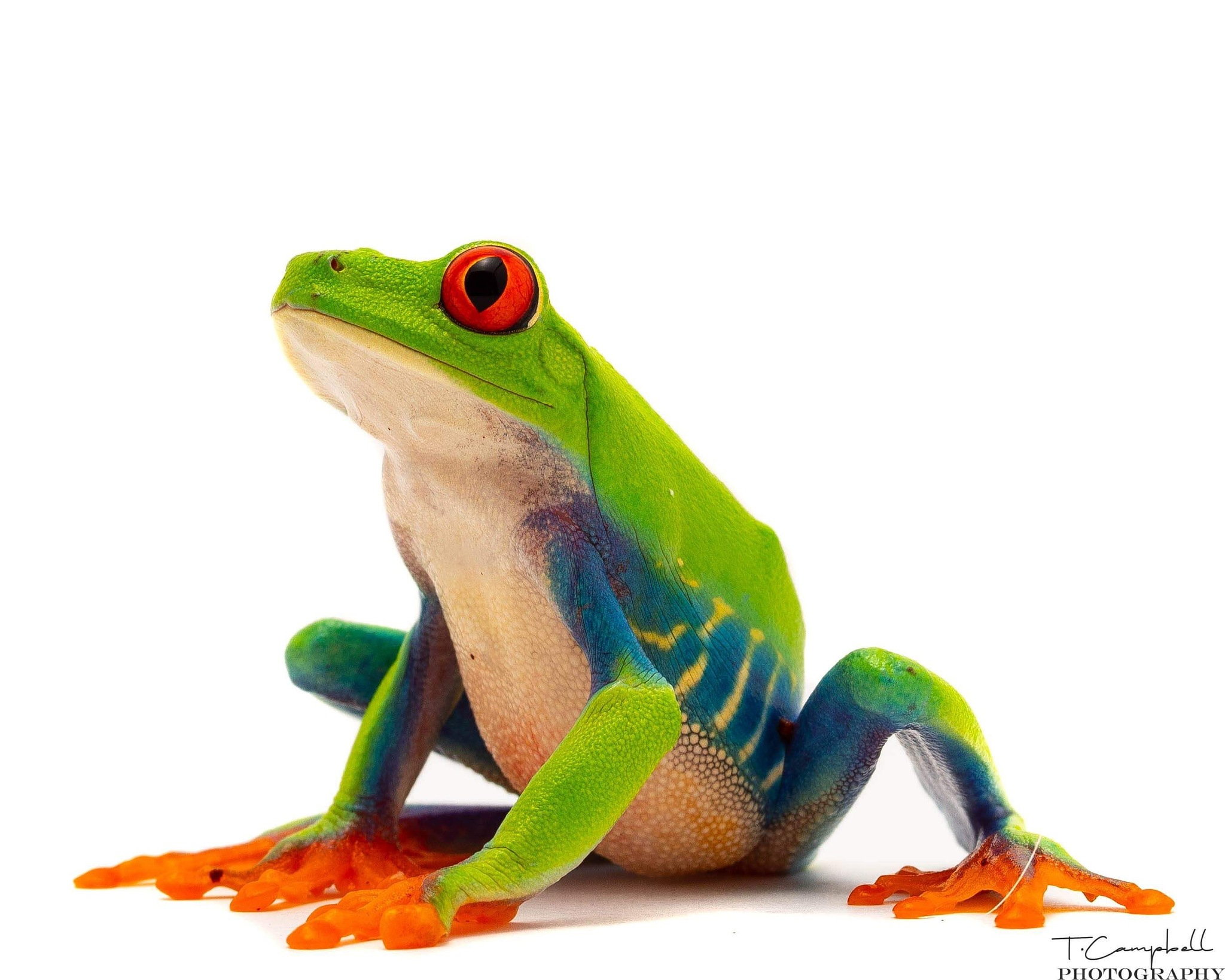 One of the most beautiful frogs in the world. Red eye tree frog by Trey Campbell