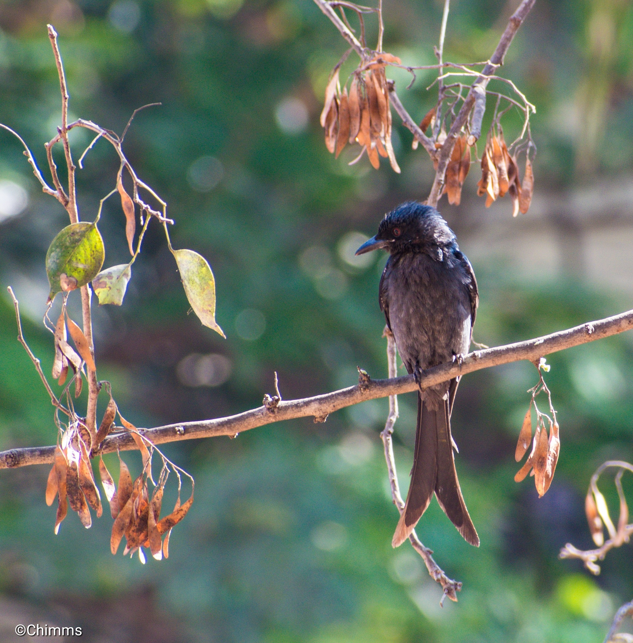 The Fork-tailed Drongo by Chimms photography