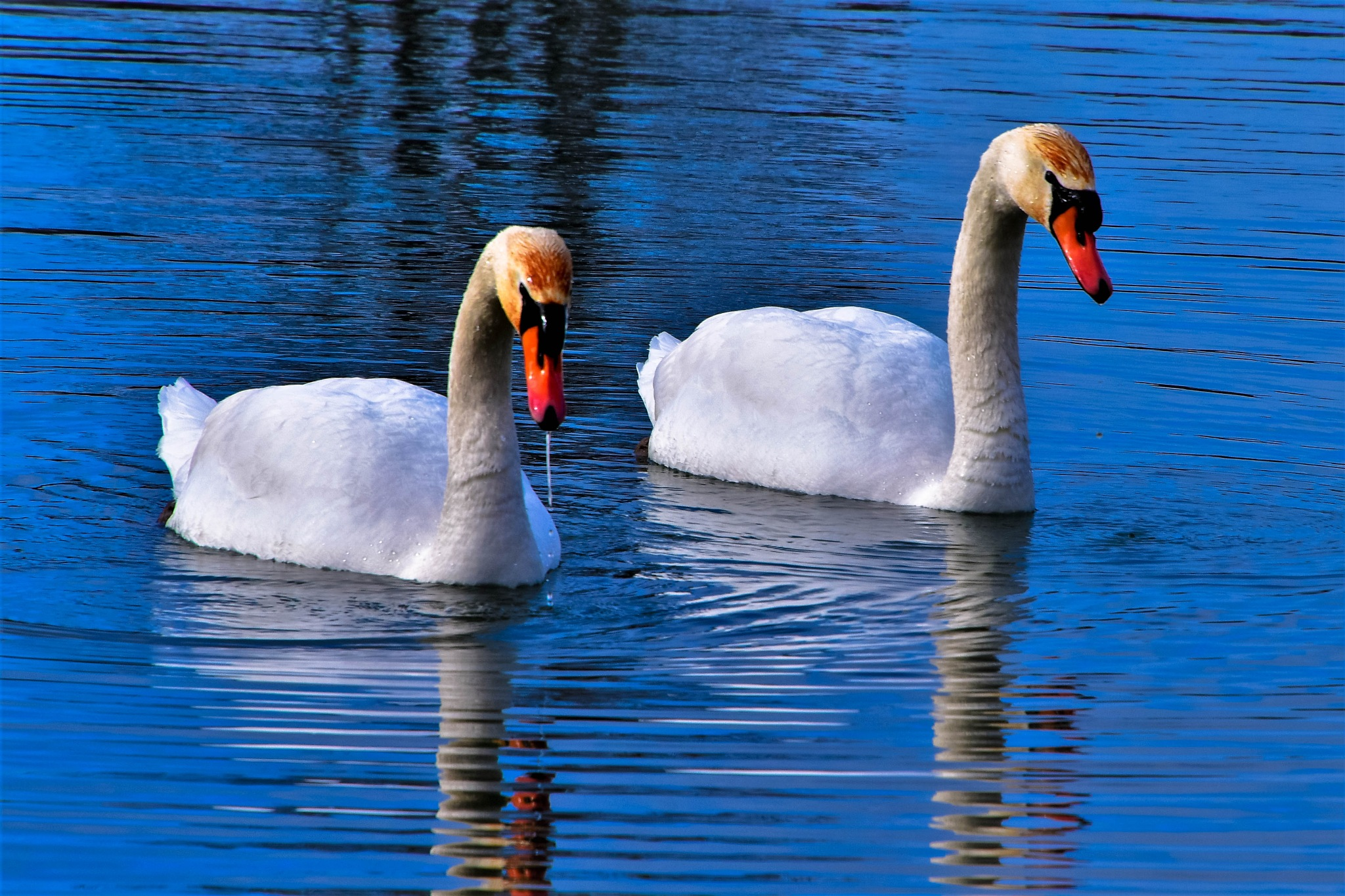 A pair of Swans. by Denys Peel