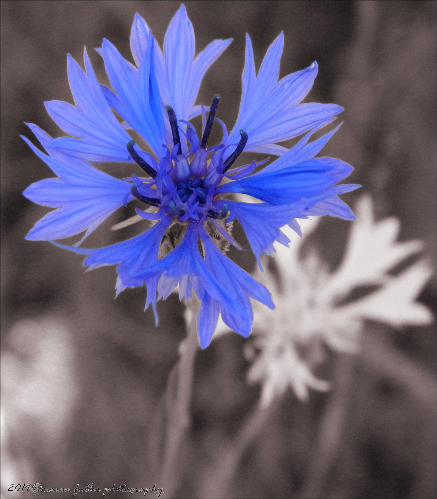 Blue Star by Maren Fuller Photography