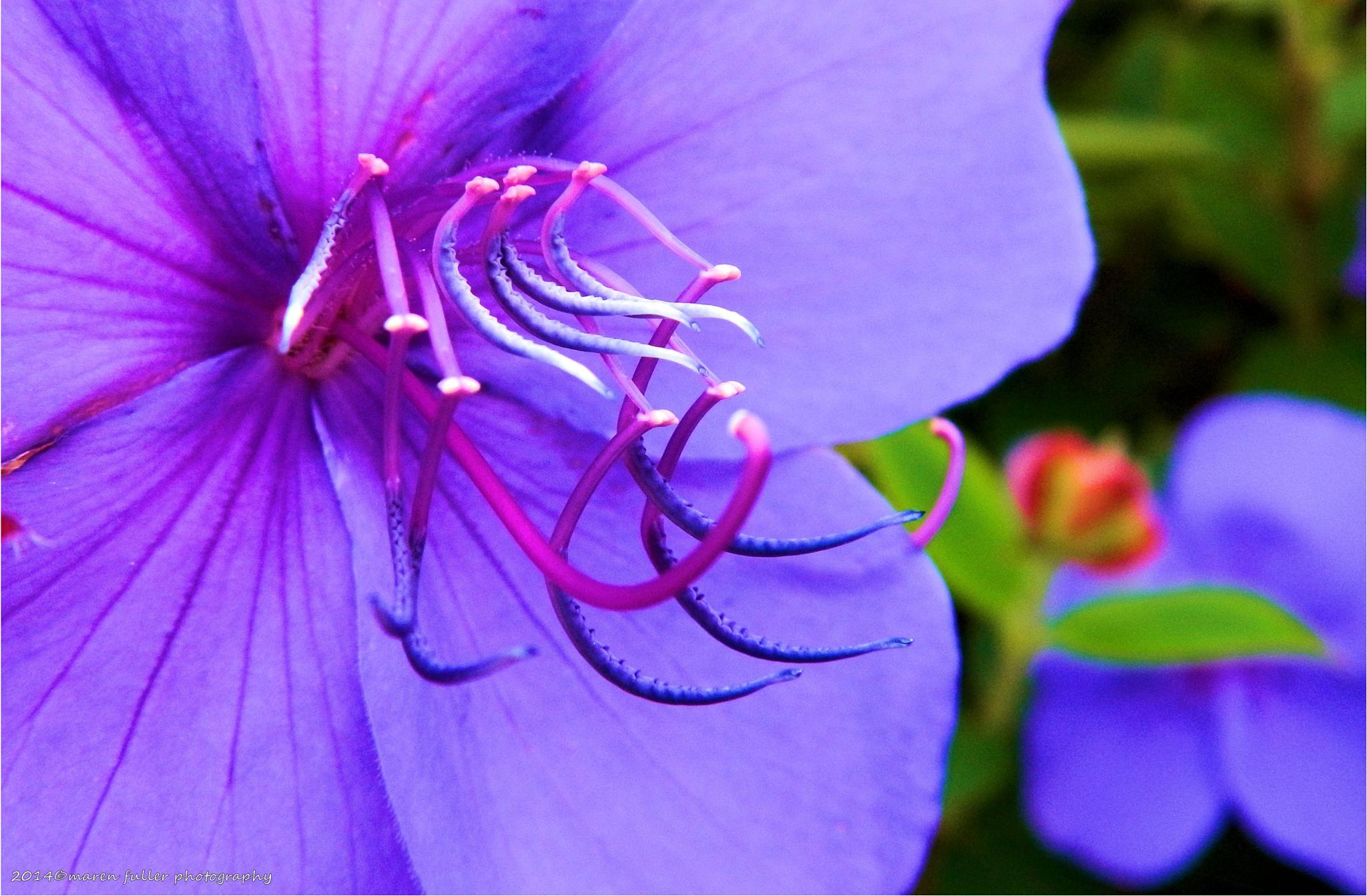 Purple Octopus flower by Maren Fuller Photography