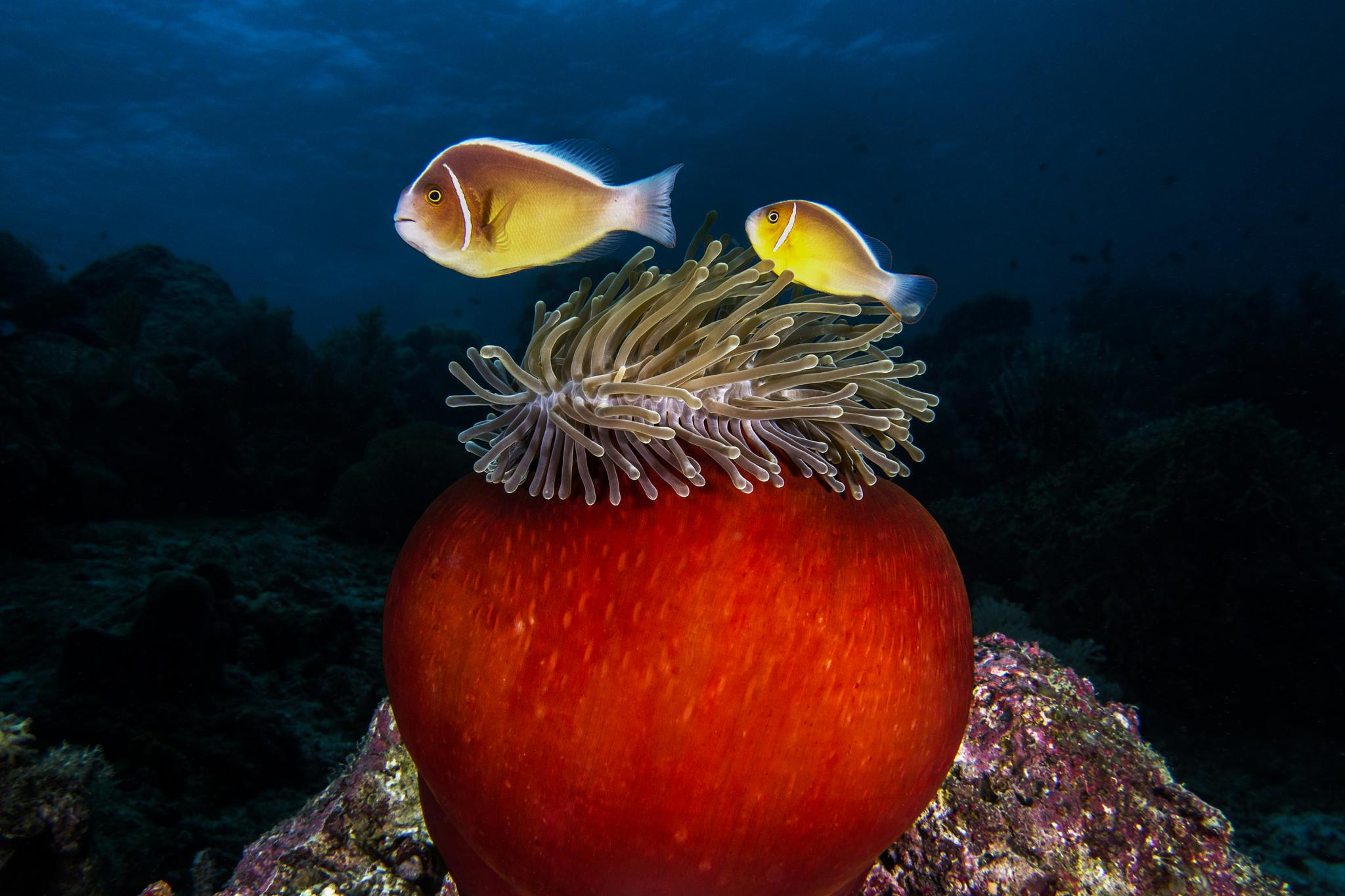 A sea anemone and clown fish by rafi amar