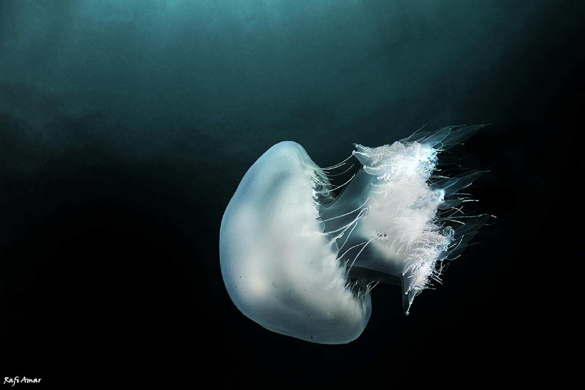 Jellyfish by rafi amar