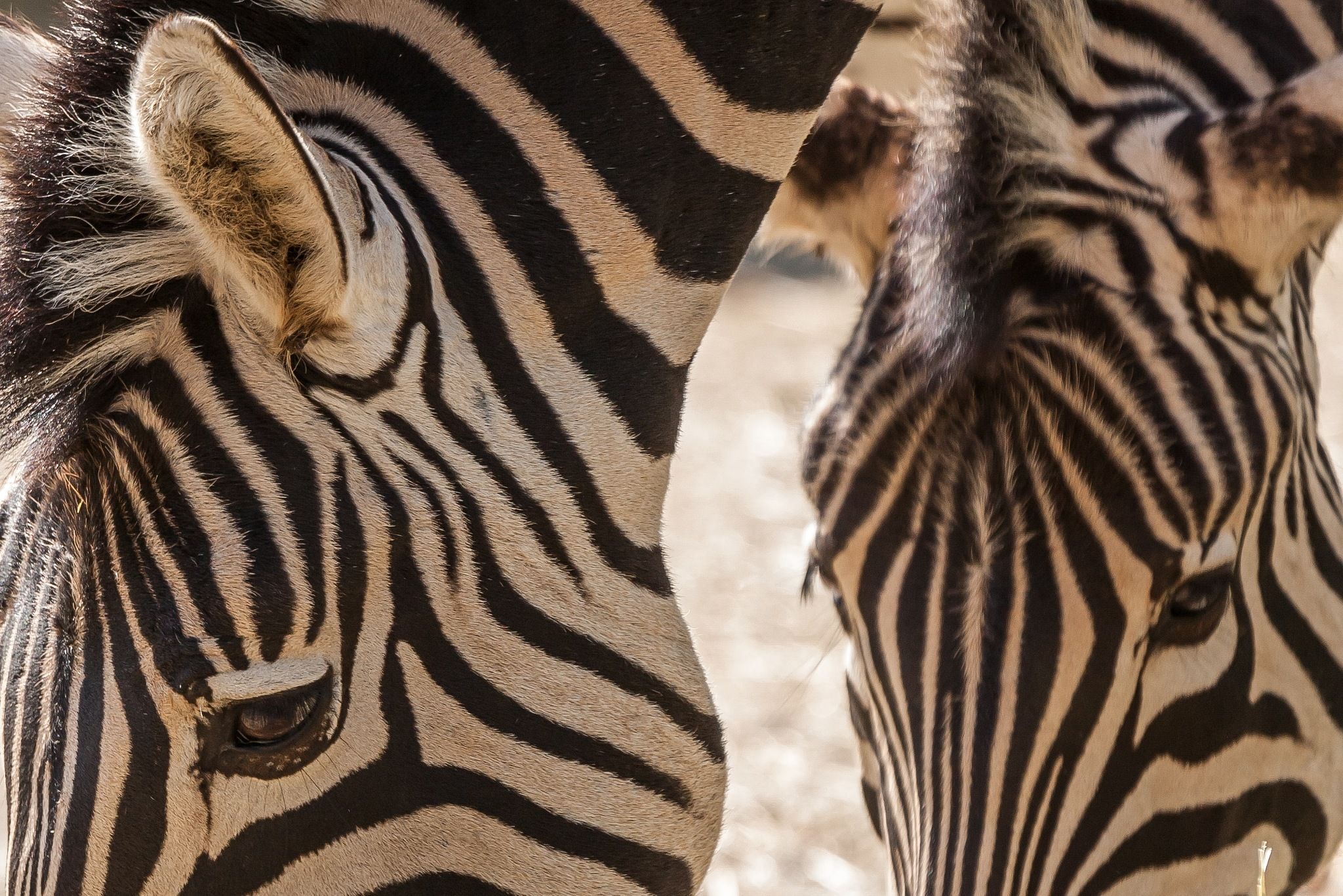 Zebra close-up  by Bob Rodenburg