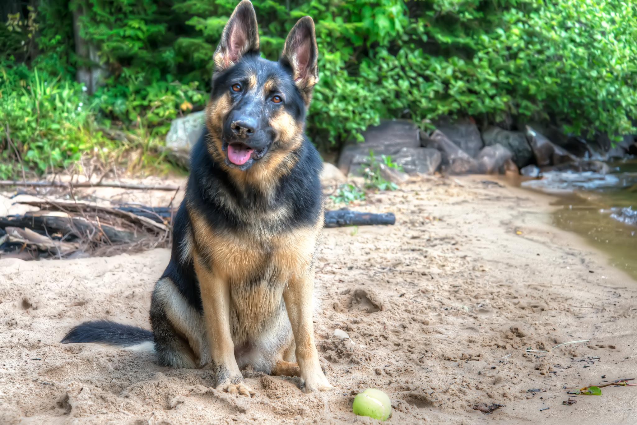 Bella, a beautiful German shepherd dog by Jo'Ann Huard