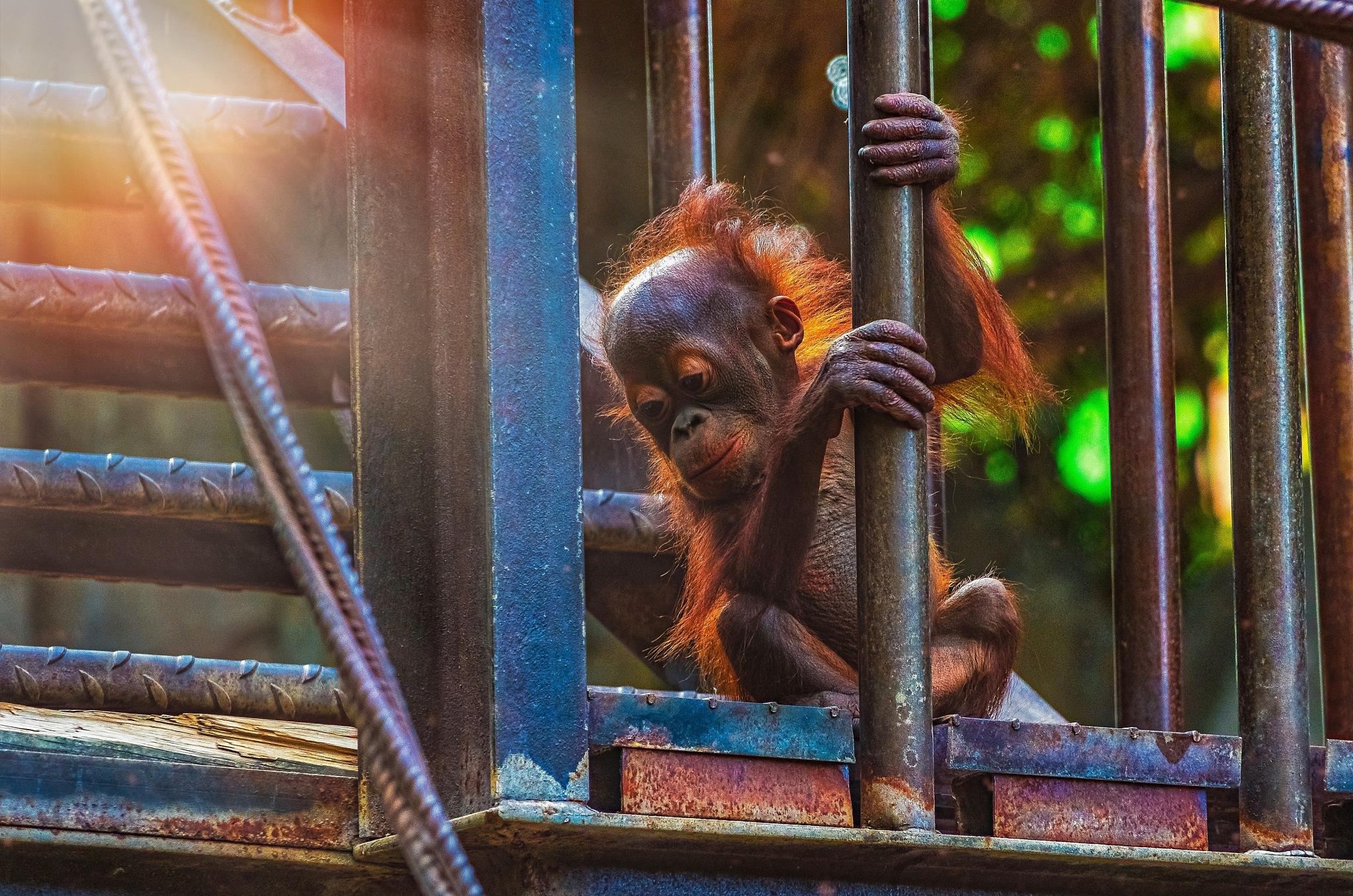 Orangutan Baby by Juan Sánchez