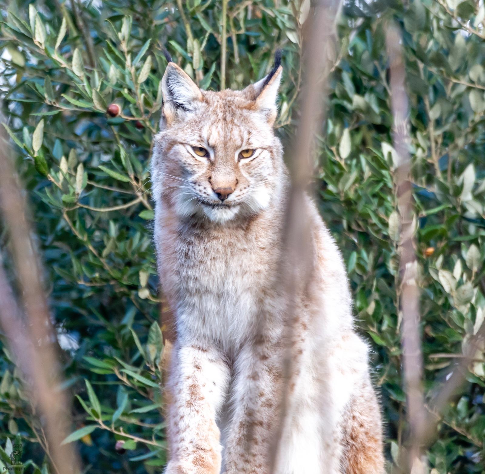 Eurasion Lynx by SR7_Photography