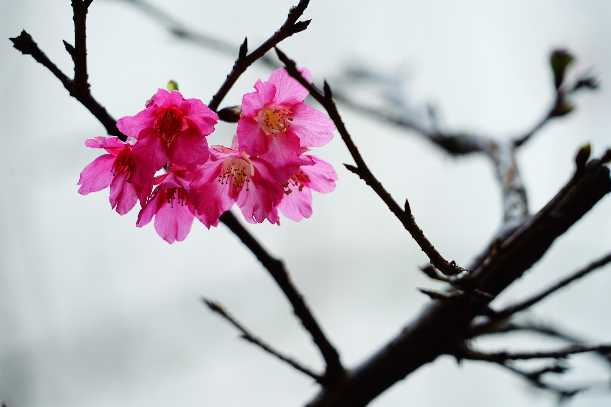 Sakura by Gaiger Chang