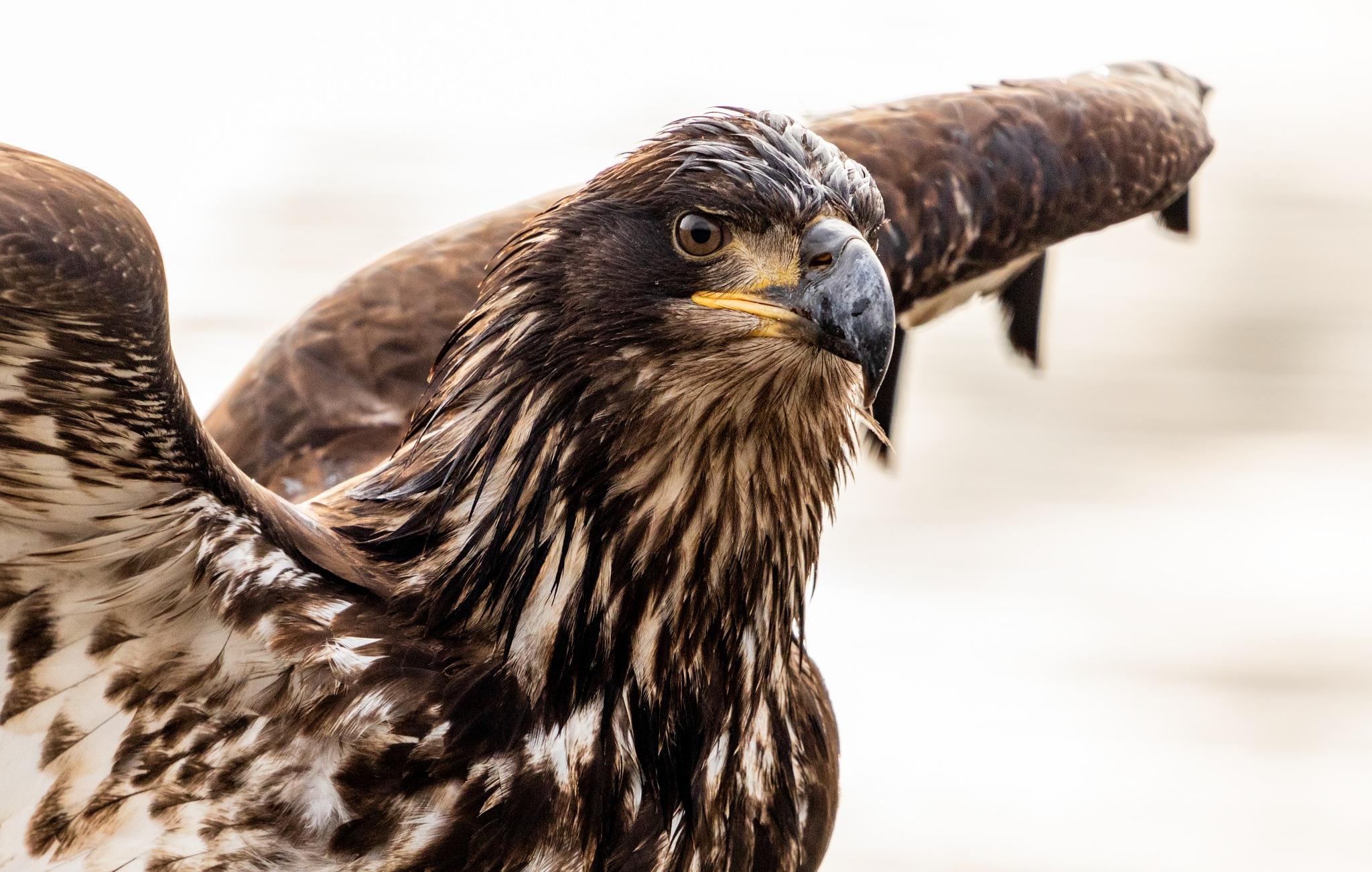 Photo in Animal #juvenile #baldeagle #eyes #beak #sharp #beautiful #beautifulbirds #predator #birdsofprey #raptors #focus
