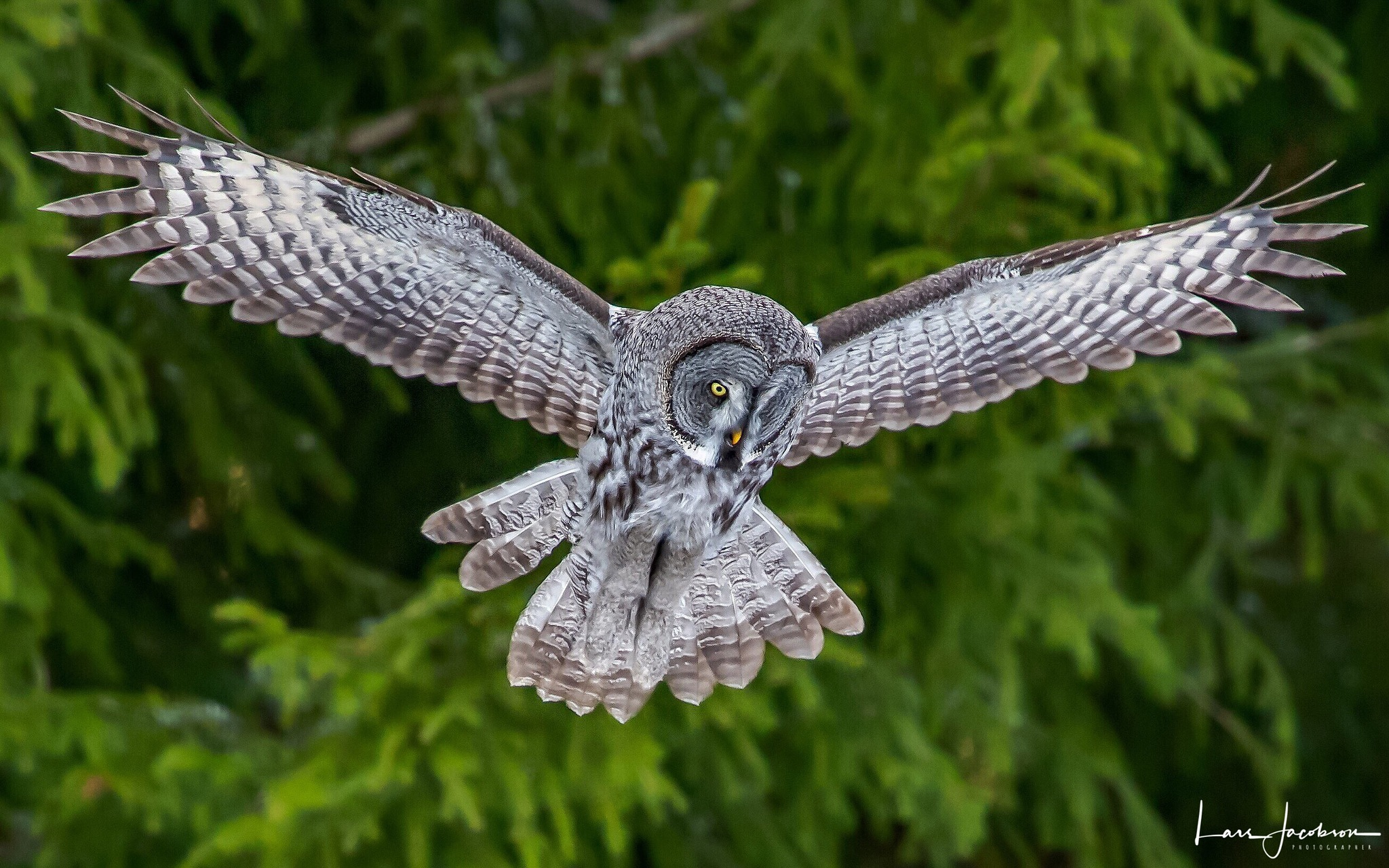 Great grey owl  by Lars Jacobson