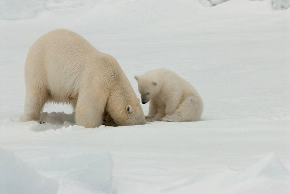 AGAMI Polar Bear Spitsbergen Roy de Haas by Royhaas